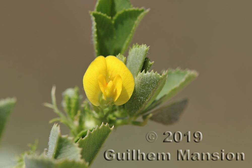 Medicago intertexta subsp. ciliaris