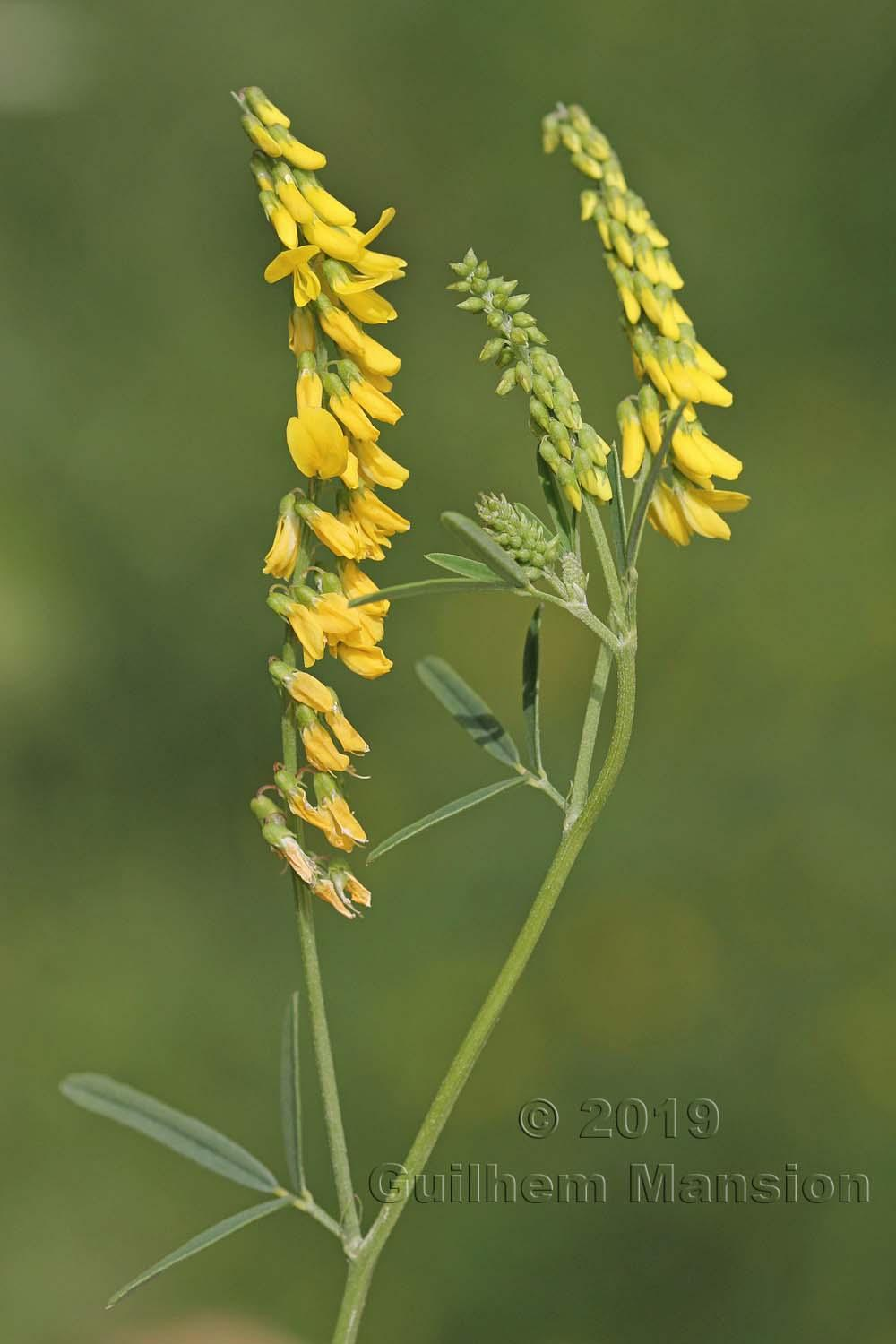 Trigonella officinalis [Melilotus officinalis]