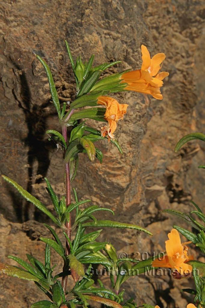 Mimulus aurantiacus