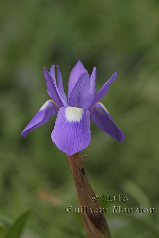 Moraea sisyrinchium