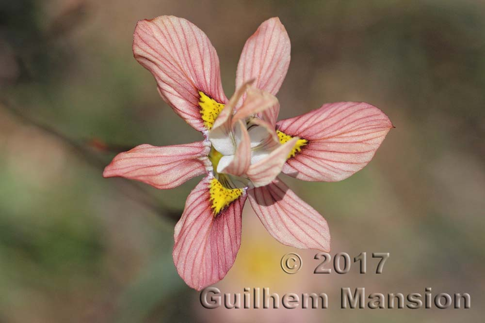Moraea tricolor