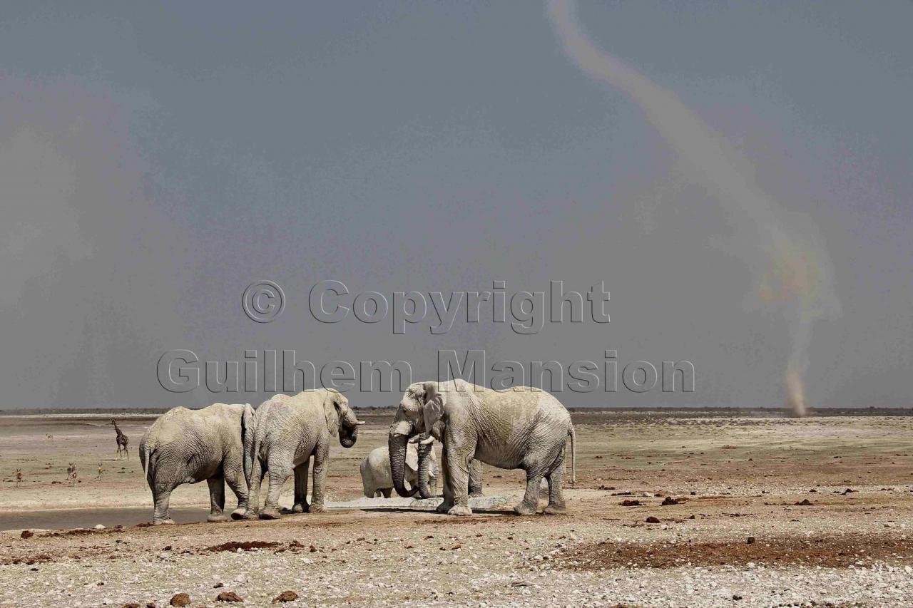 Elephants - Etosha NP