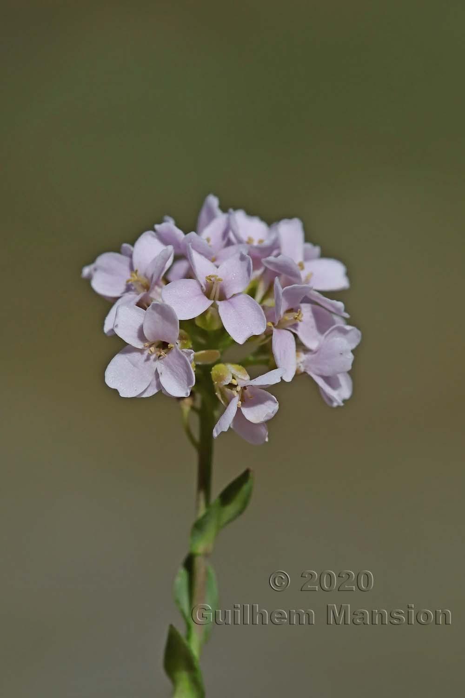 Noccaea corymbosa