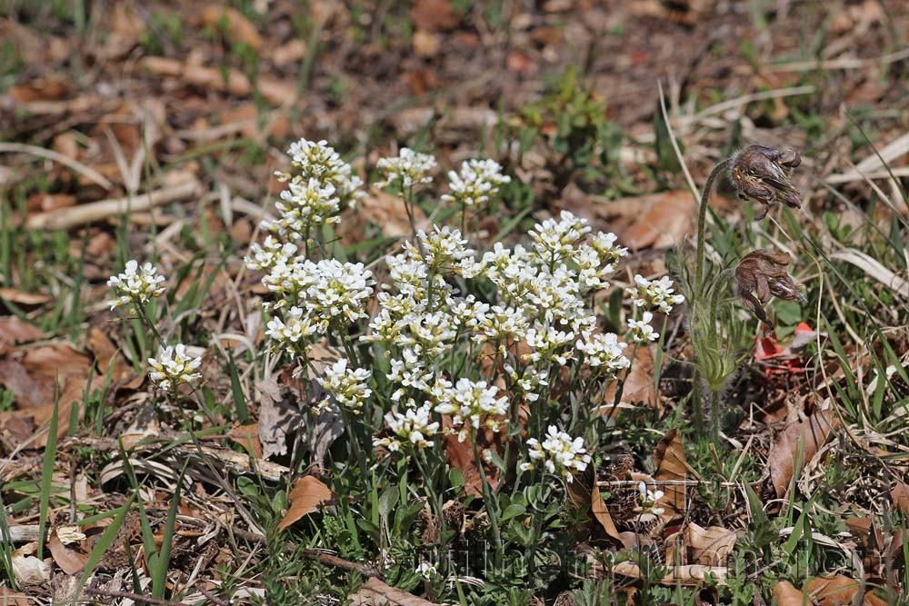 Noccaea montana [Thlaspi montanum]