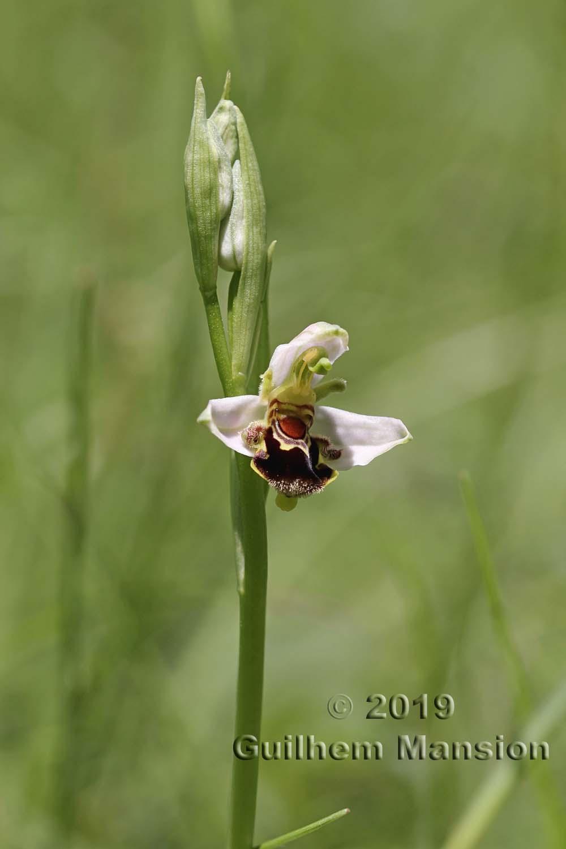 Ophrys apifera
