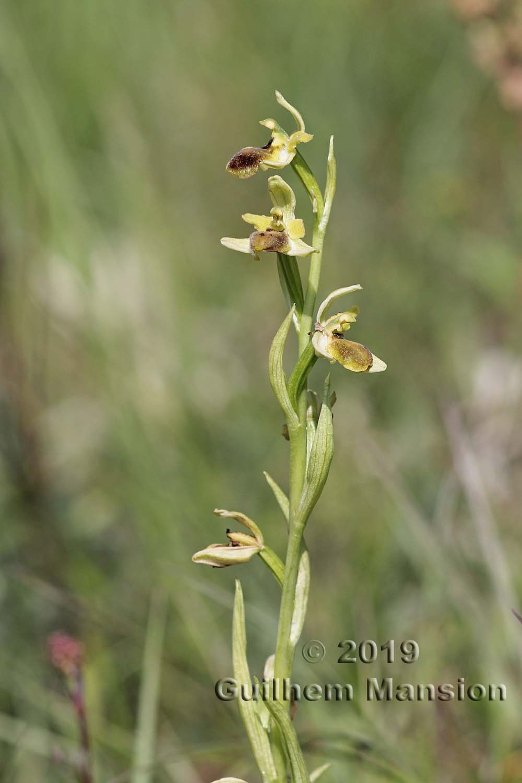 Ophrys aranifera