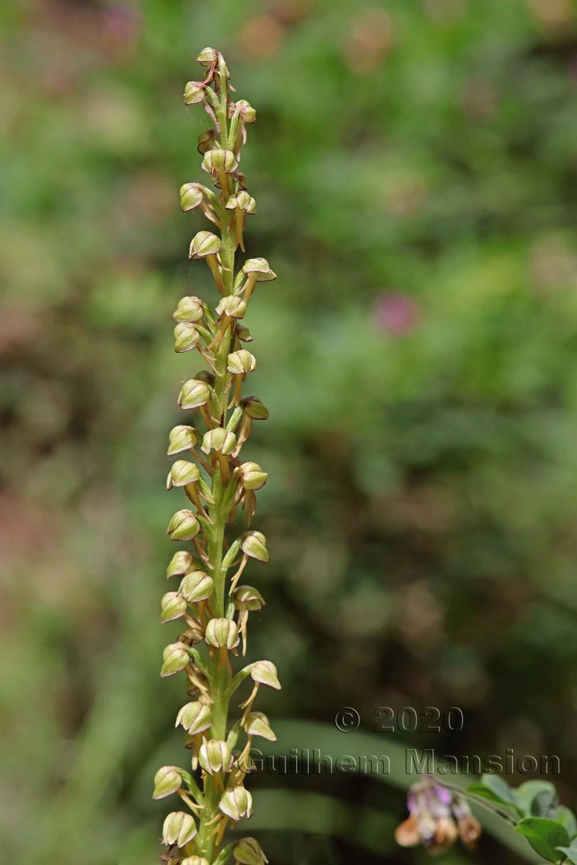 Orchis anthropophora [Aceras anthropophorum]