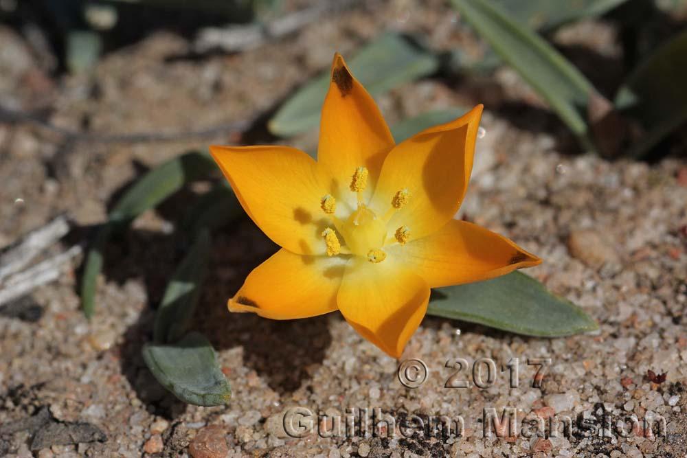 Ornithogalum maculatum