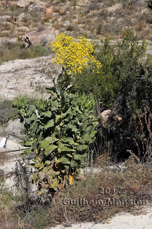 Othonna parviflora