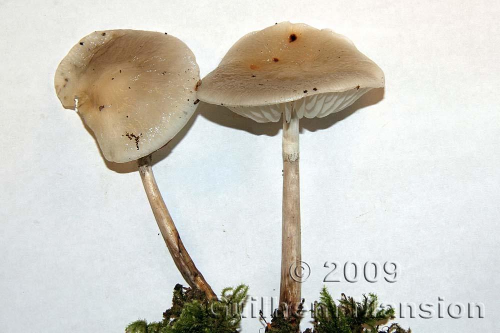 Physalacriaceae