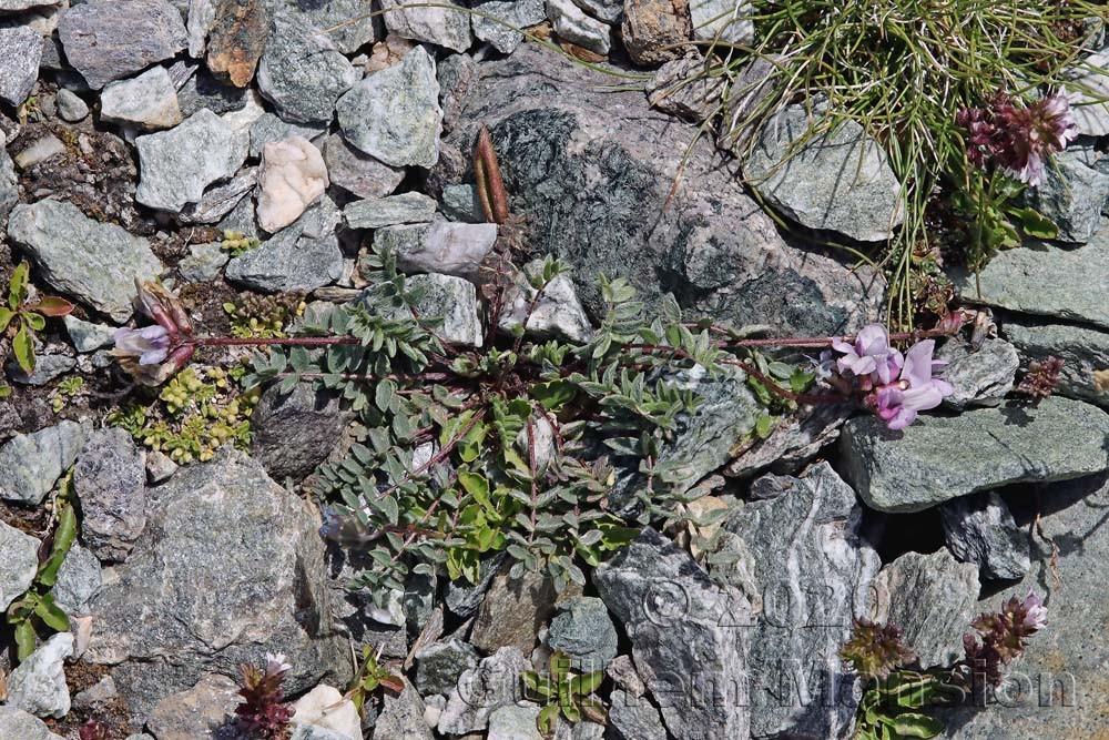 Oxytropis helvetica