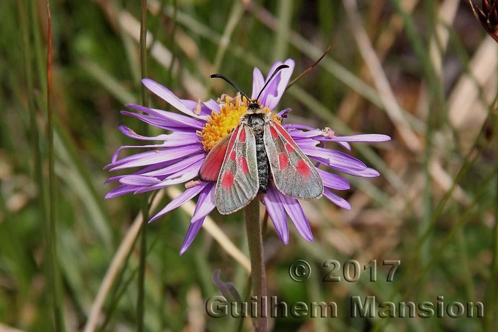 Papillon - Zygaena sp. - Zygène