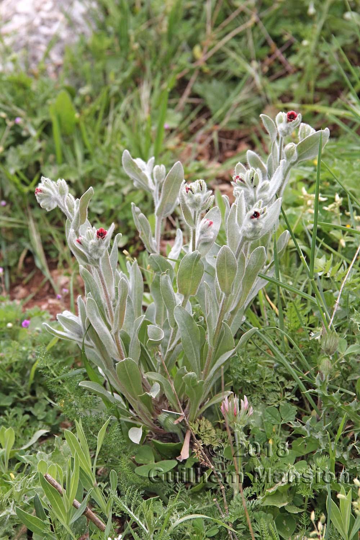 Pardoglossum cheirifolium subsp. heterocarpum