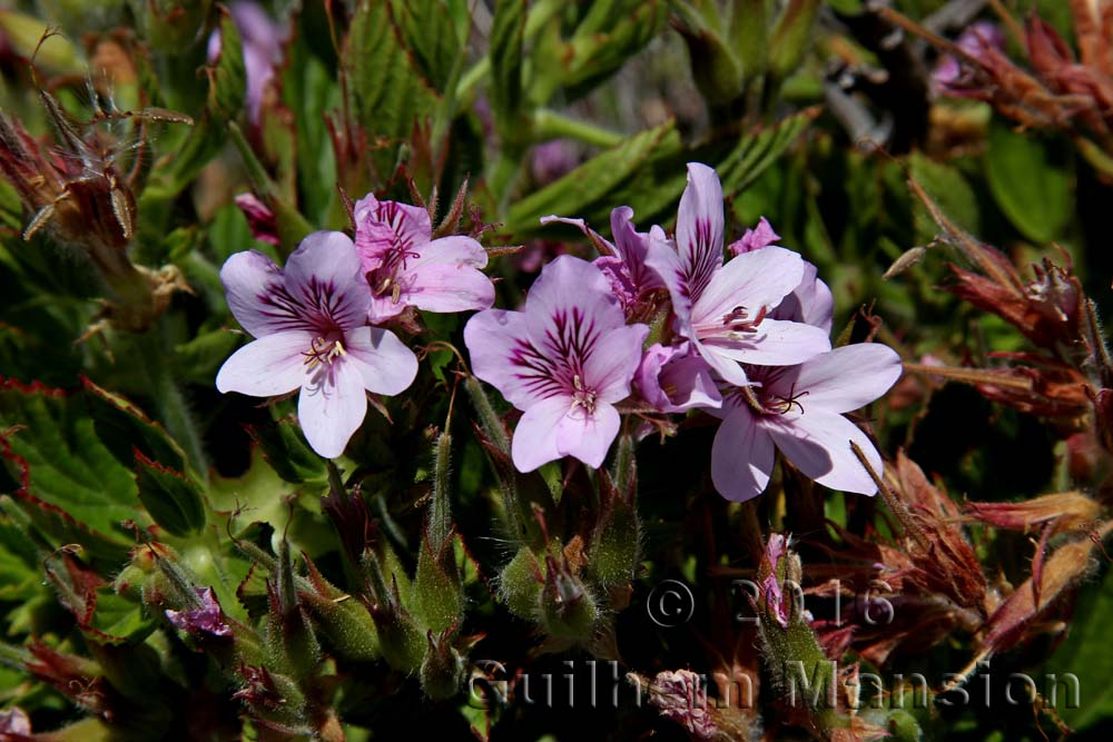 Pelargonium cucculatum