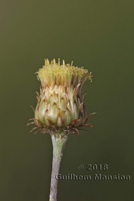Phagnalon rupestre subsp. illyricum