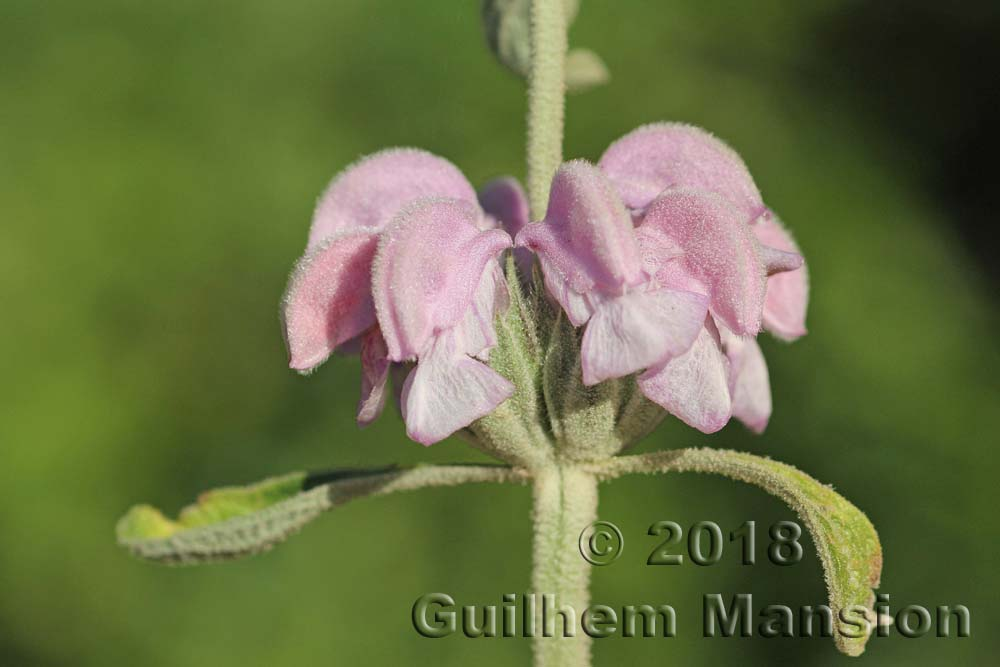 Phlomis purpurea
