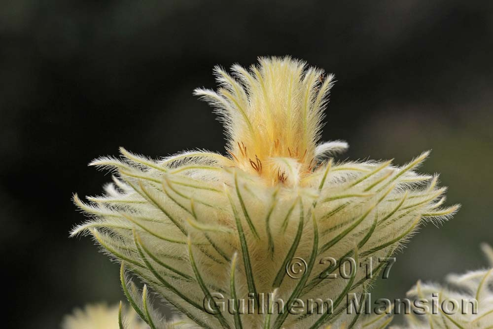 Rhamnaceae