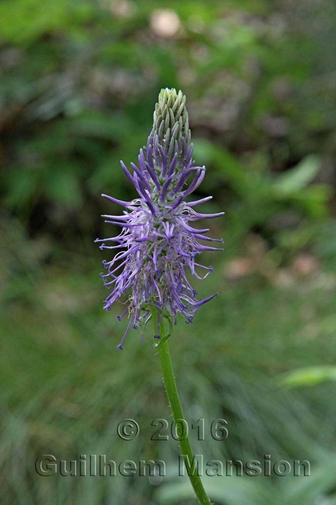 Phyteuma betonicifolium
