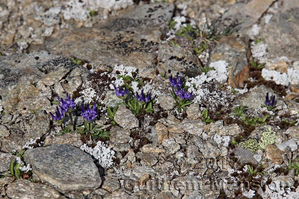 Phyteuma globulariifolium