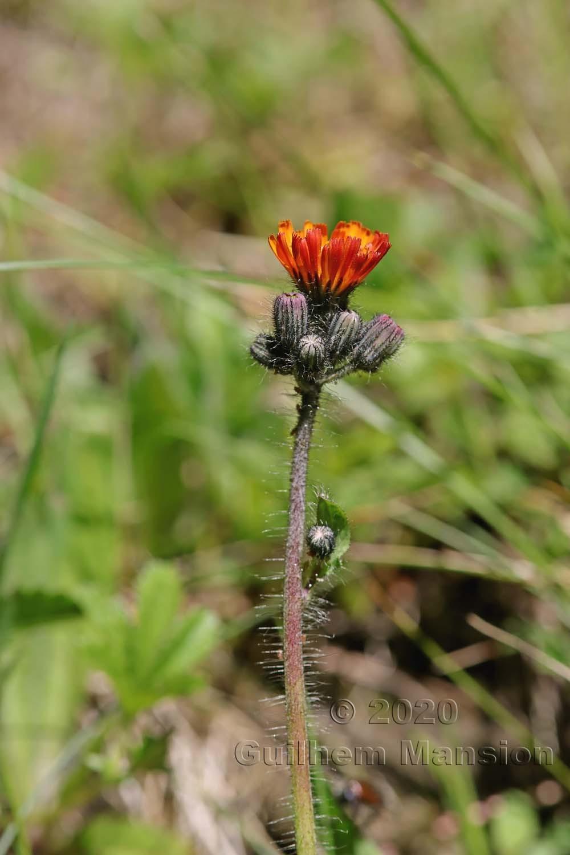 Pilosella aurantiaca [Hieracium aurantiacum]