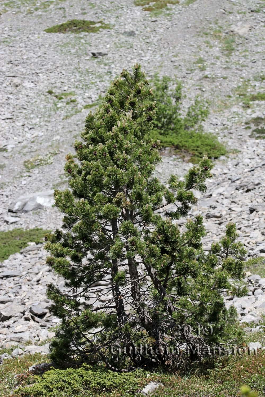 Pinus mugo