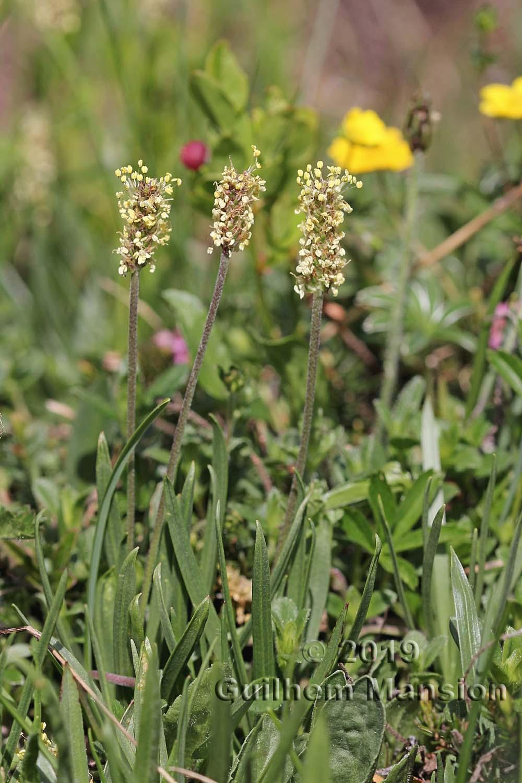 Plantago alpina