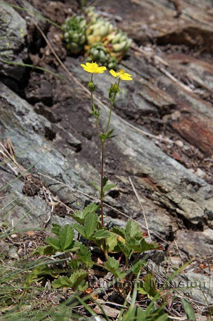 Potentilla grandiflora