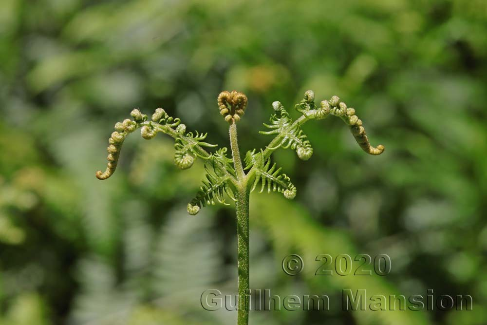 Pteridaceae