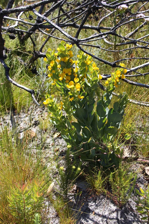 Rafnia triflora