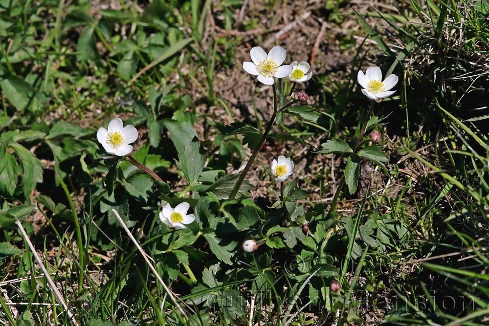 Ranunculus aconitifolius