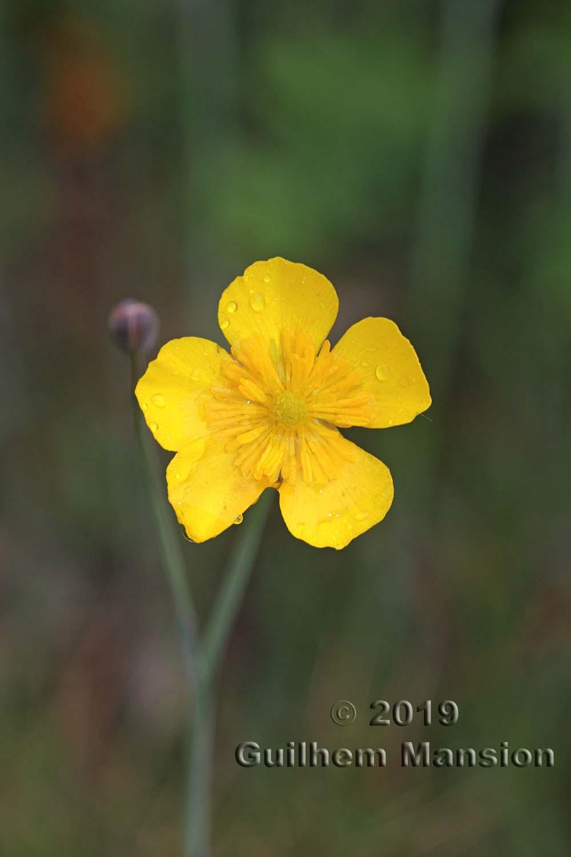 Ranunculus gramineus