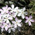 Famille - Polemoniaceae