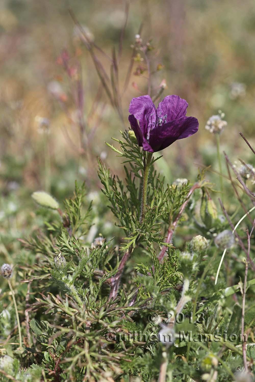 Roemeria hybrida