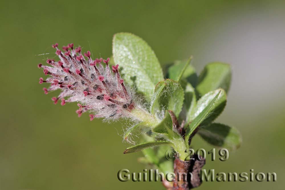 Salix breviserrata