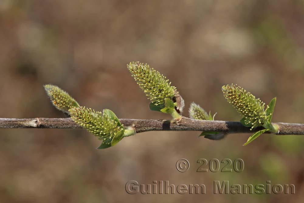 Salix cf myrsinifolia
