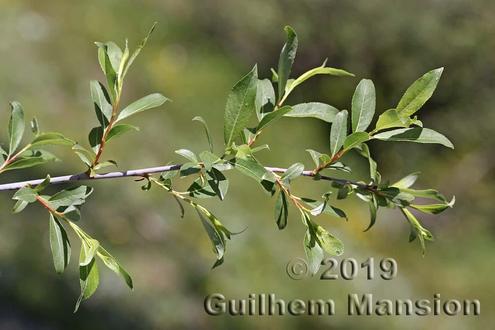 Salix daphnoides