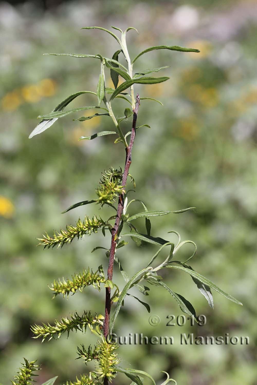 Salix eleagnoides