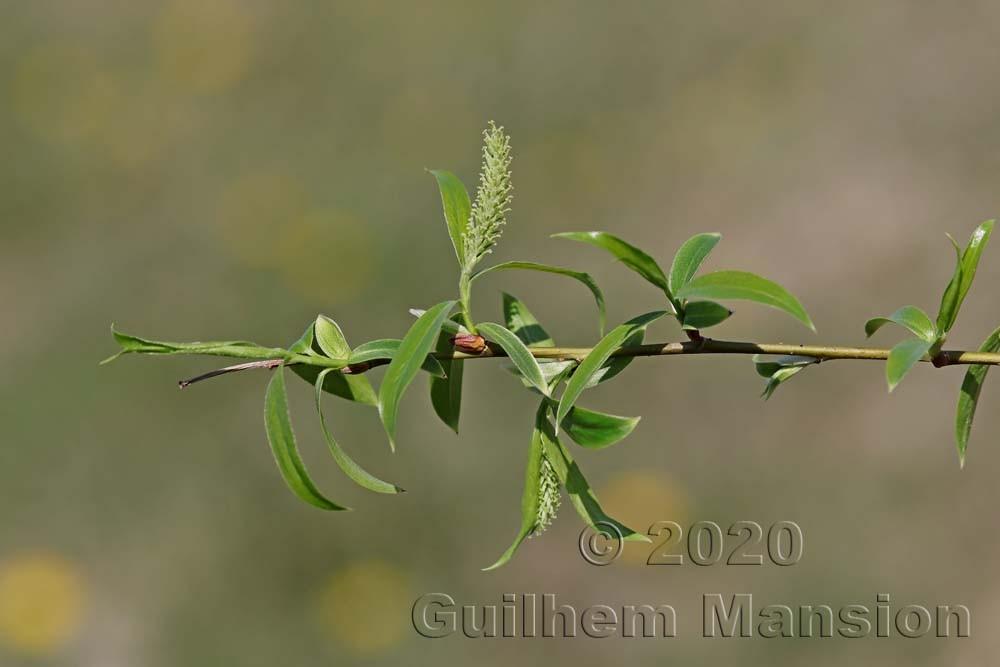 Salix x fragilis