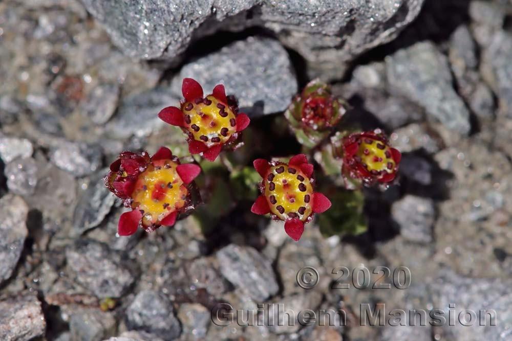 Saxifraga biflora