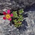 Famille - Saxifragaceae