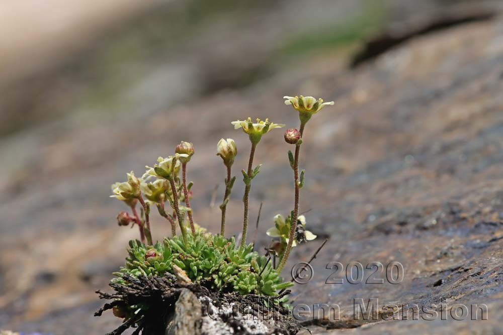 Saxifraga exarata subsp. moschata