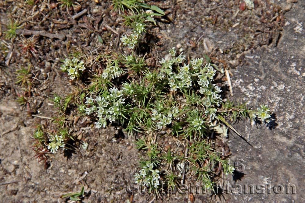 Scleranthus perennis