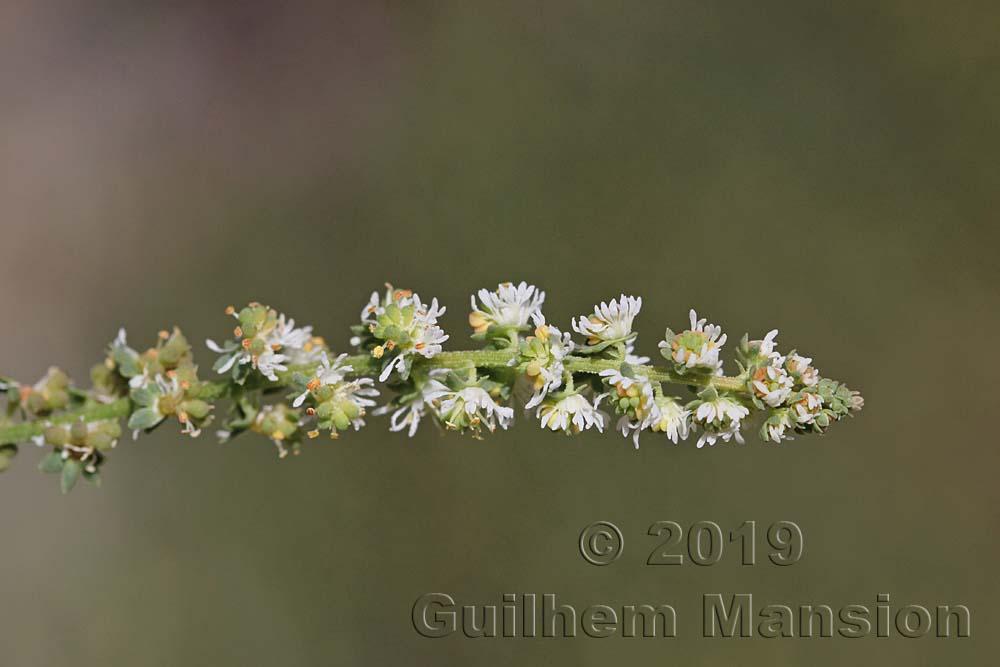 Sesamoides pygmaea