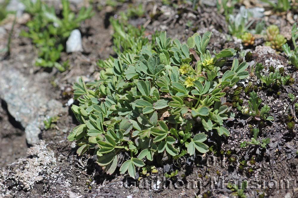Sibbaldia procumbens