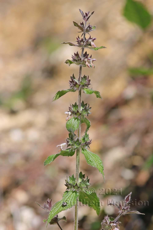 Stachys alpina