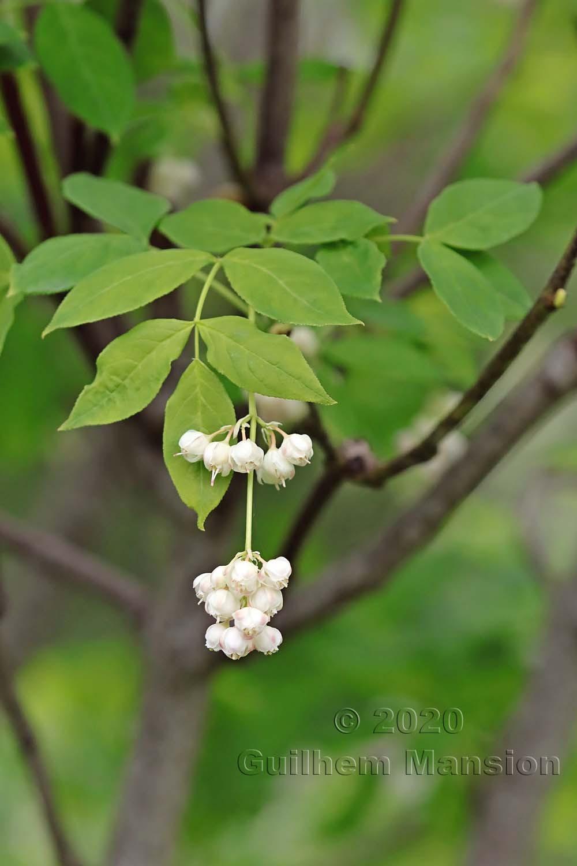 Staphyleaceae