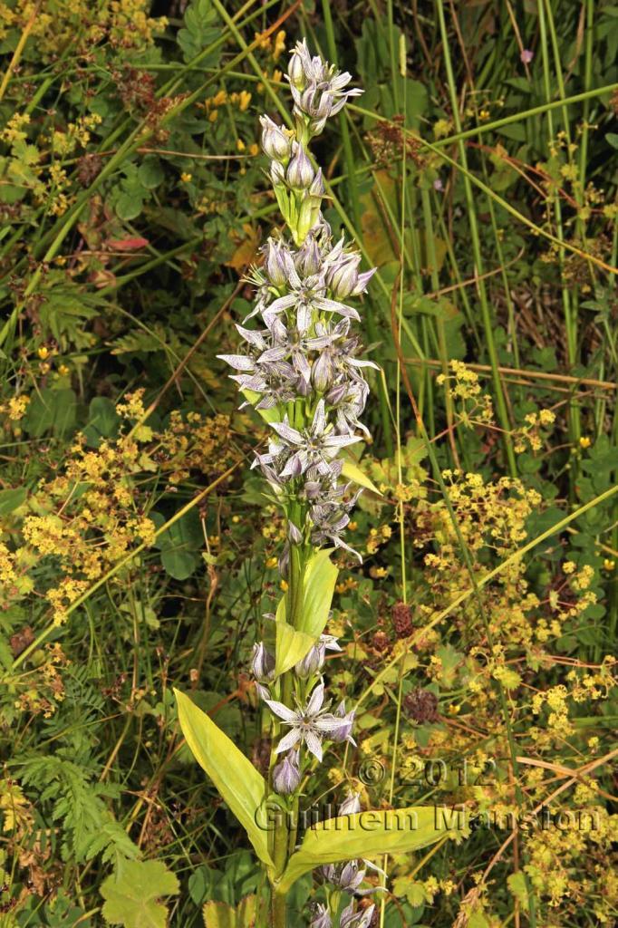 Swertia iberica