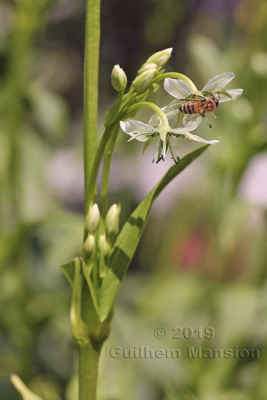 Swertia kingii