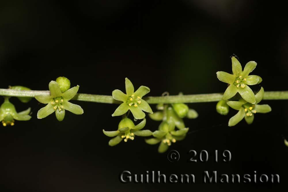 Dioscoreaceae