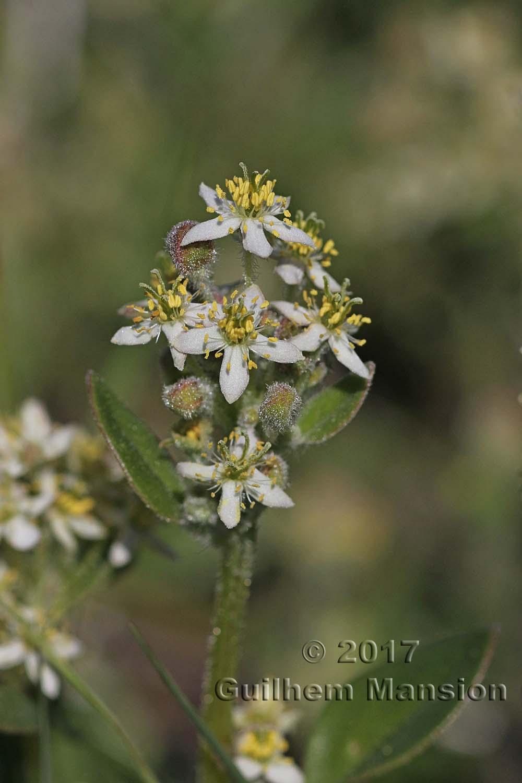Tetragonia herbacea